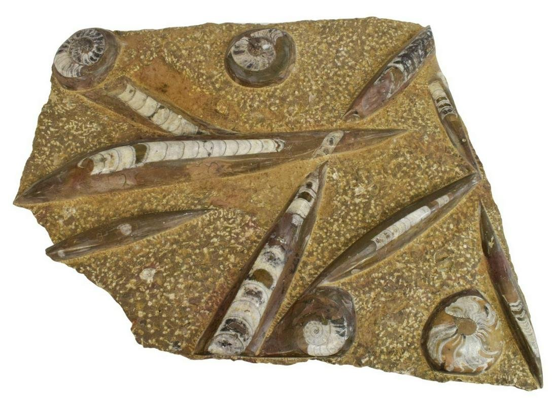 POLISHED AMMONITE & ORTHOCERAS FOSSILS STONE PLATE