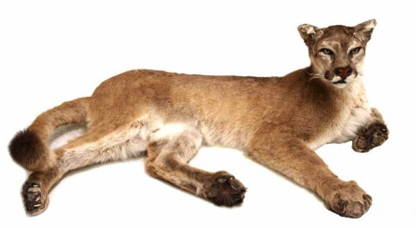 FULL BODY MOUNTAIN LION (COUGAR) TAXIDERMY