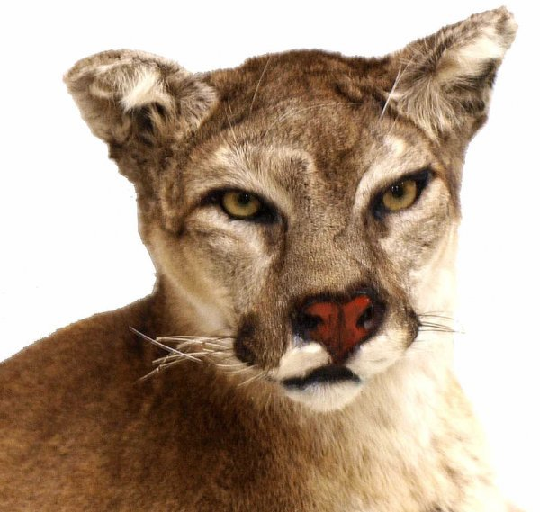 FULL BODY MOUNTAIN LION (COUGAR) TAXIDERMY - 2
