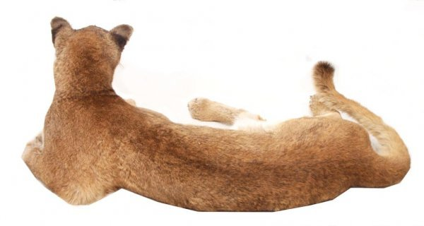 FULL BODY MOUNTAIN LION (COUGAR) TAXIDERMY - 3