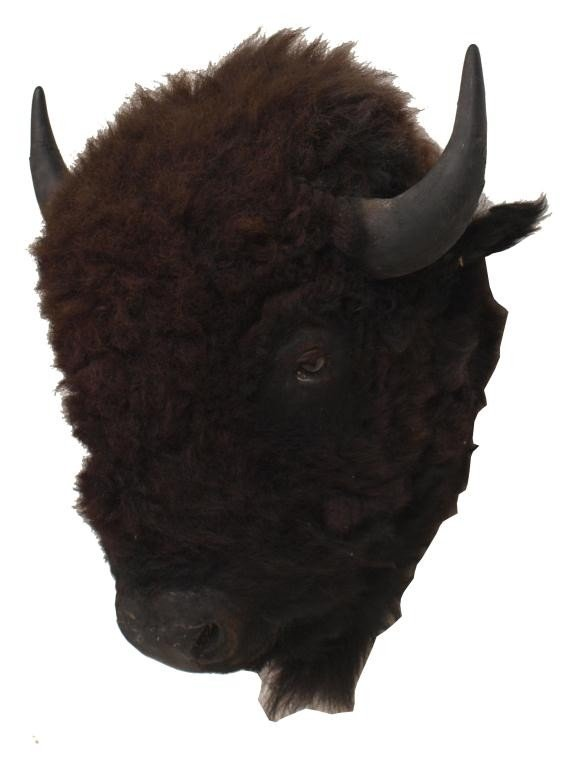 17: LARGE AMERICAN BUFFALO / BISON TAXIDERMY MOUNT