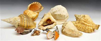 585 COLLECTION OF SOUTHEAST ASIAN SEASHELLS