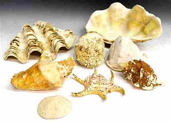 586: COLLECTION OF LARGE SOUTHEAST ASIAN SEASHELLS