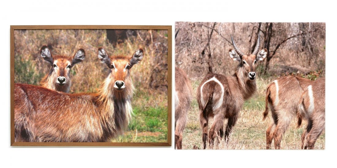 7: (2) PHOTO PRINTS ON CANVAS, WATERBUCK ANTELOPE