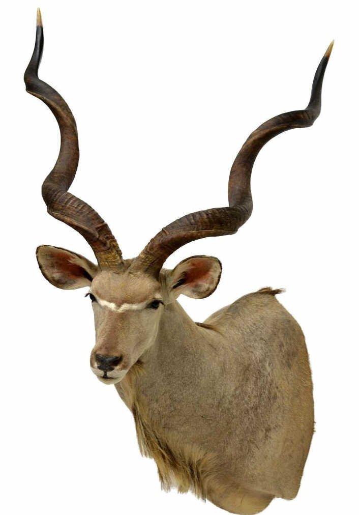 """167: LARGE AFRICAN KUDU ANTELOPE TROPHY MOUNT, 65""""H"""