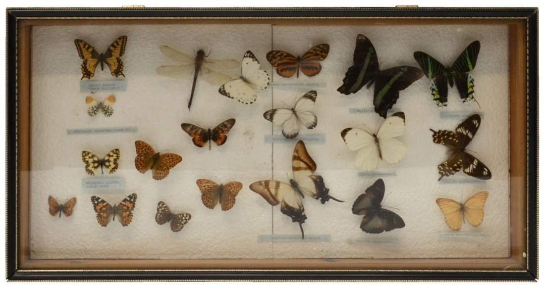 148: BUTTERFLY DISPLAY IN GLASS HINGED TOP BOX