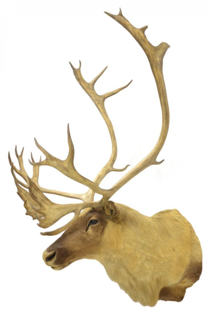 TAXIDERMY CARIBOU MOUNT