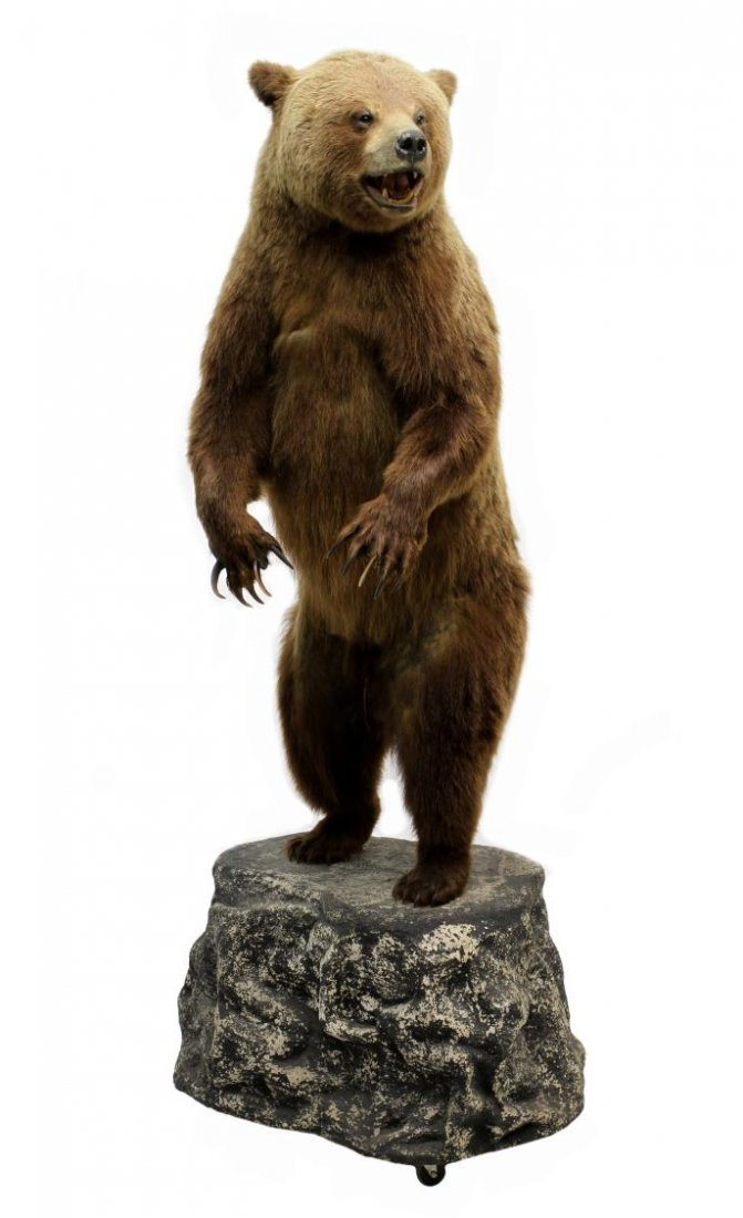 TAXIDERMY FULL MOUNT STANDING GRIZZLY BEAR