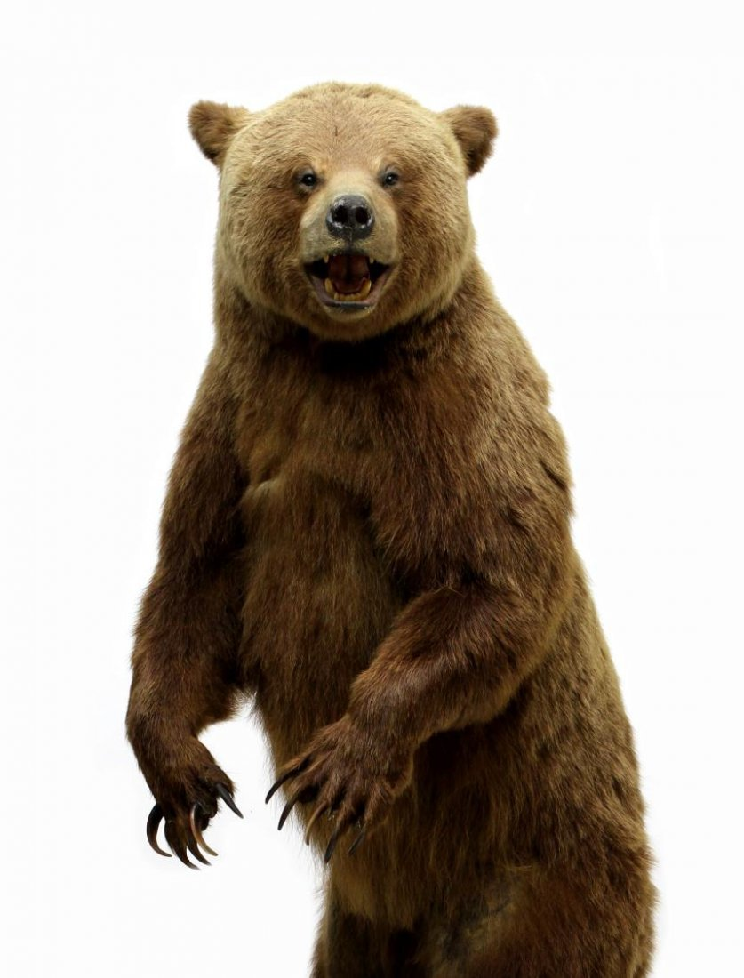 TAXIDERMY FULL MOUNT STANDING GRIZZLY BEAR - 4