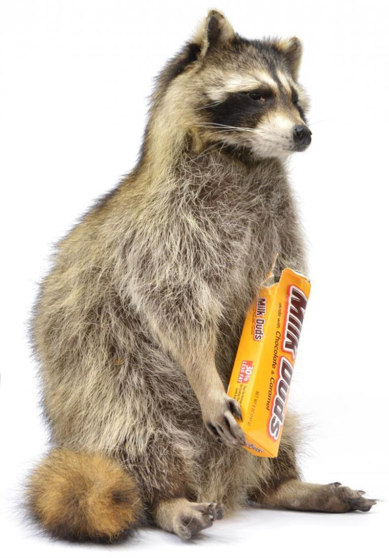 RACCOON TAXIDERMY MOUNT - 3