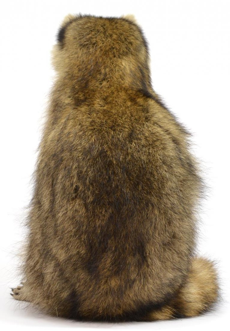 RACCOON TAXIDERMY MOUNT - 4