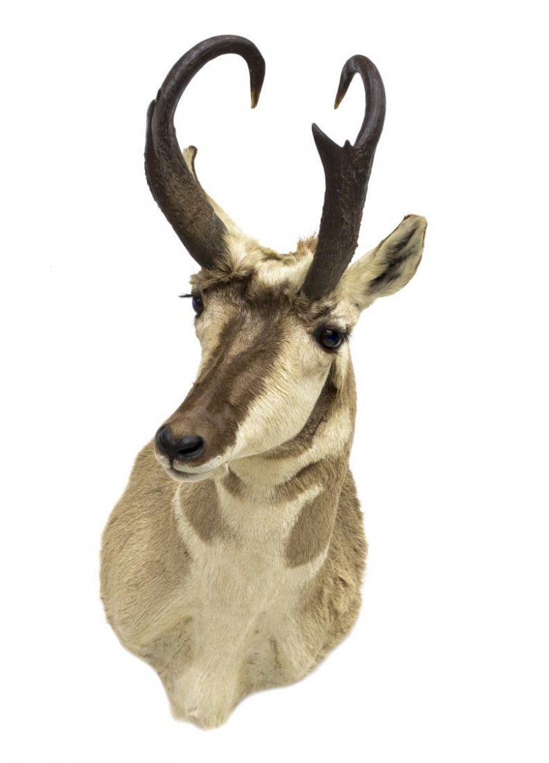 AMERICAN PRONGHORN ANTELOPE TAXIDERMY MOUNT