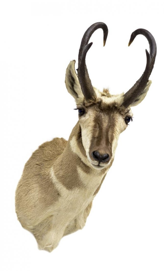 AMERICAN PRONGHORN ANTELOPE TAXIDERMY MOUNT - 2
