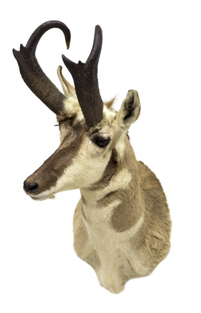 AMERICAN PRONGHORN ANTELOPE TAXIDERMY MOUNT - 3