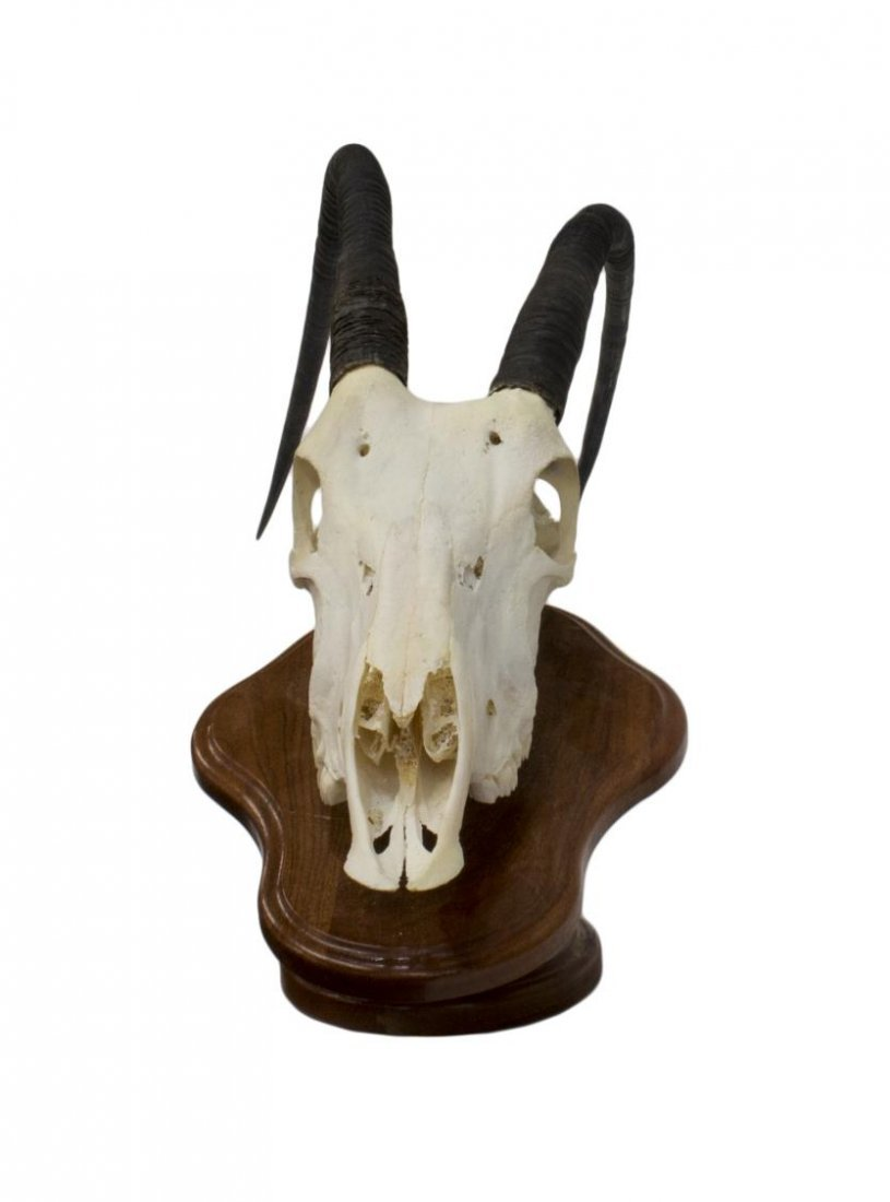 SCIMITAR-HORMED ORYX SKULL, LONG CURVING HORNS - 2