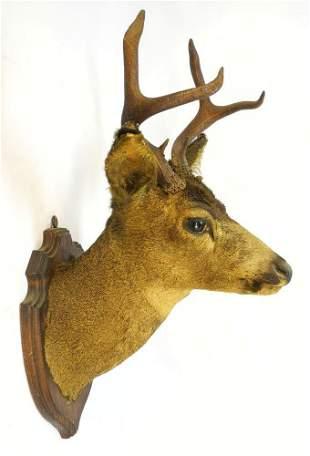 """Taxidermy Deer Mount, 28""""."""