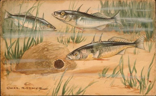 1012: WATERCOLOR ON BOARD SPINED STICKELBACK ROSNER
