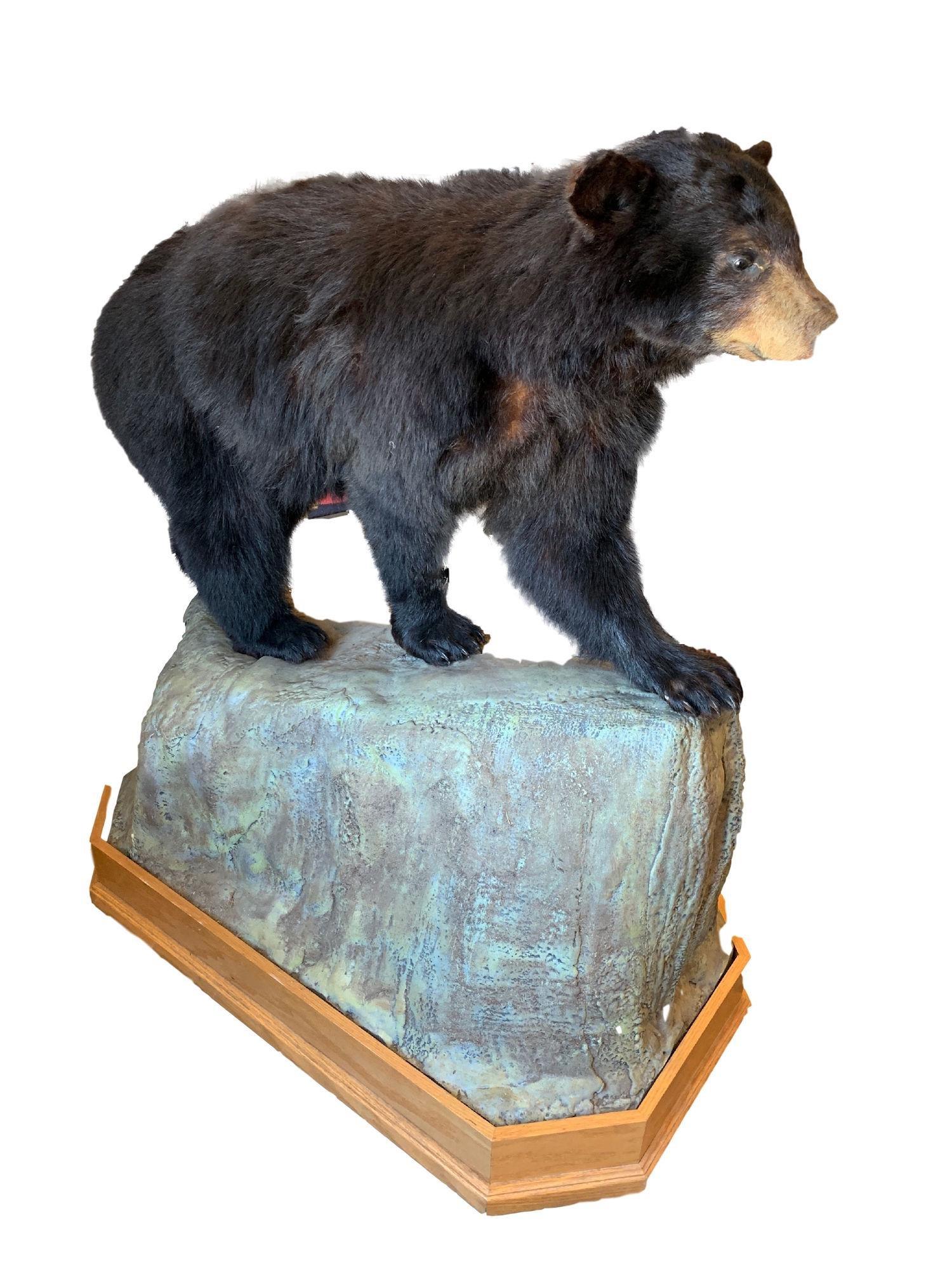 "TAXIDERMY MOUNT BLACK BEAR FULL BODY 48""L"