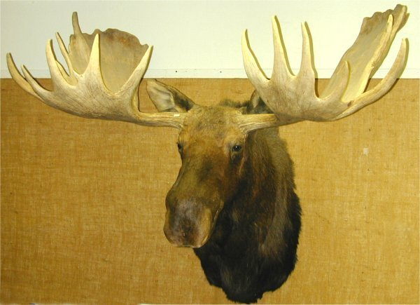 10: LARGE MOOSE HEAD MOUNT