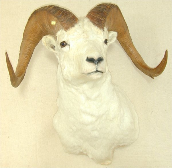 20: DAHL SHEEP MOUNT FULL CURL