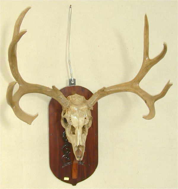 21: MULE DEER SKULL & RACK MOUNT