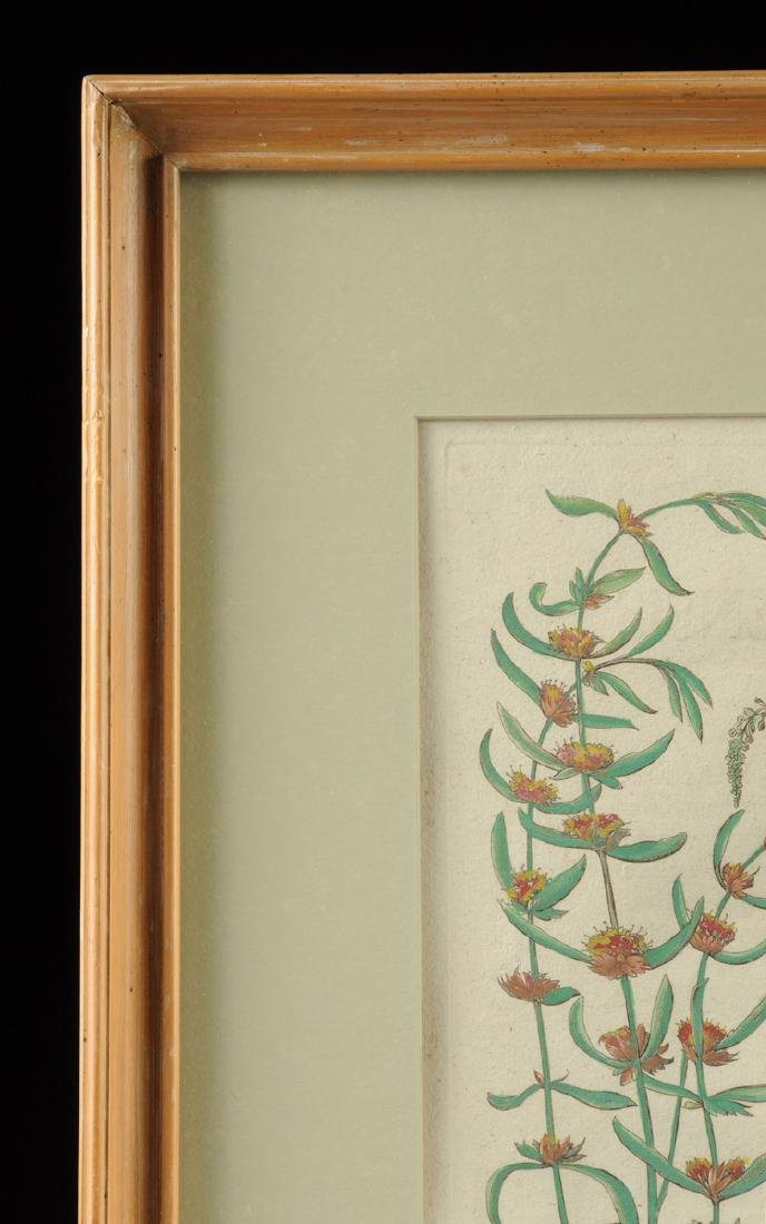 A PAIR OF FRAMED GERMAN HAND COLORED BOTANICAL - 10