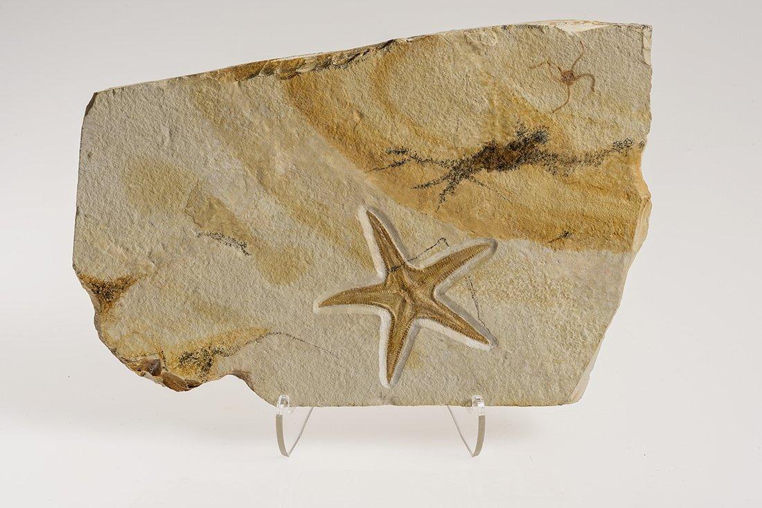 Solnhofen Starfish