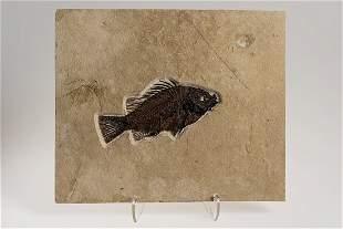 Fossil Perch