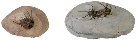 1437: Pair of Spiny Trilobites from Morocco