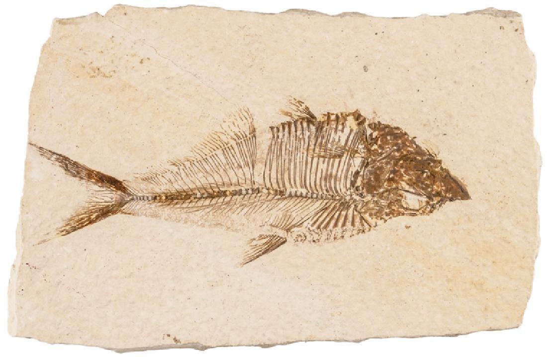 50-55 Million Year Old Diplomystus Fossil Fish