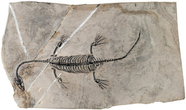 671: Mini Guizhou Dragon, 240 Million Year Old Reptile