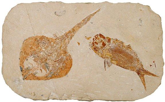 Herring Like Fish | 100 Million B C Guitarfish And Herring Like Fish