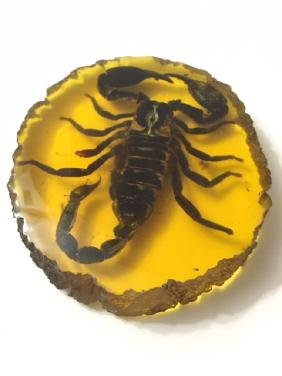 Amber Encased Fossilized Desert Scorpion