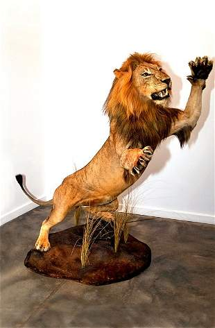 Taxidermy African Lion, Adult Male