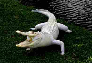 Taxidermy American Albino Alligator