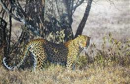 Simon Combes  (1940-2004) A Leopard Amongst Vegetation,