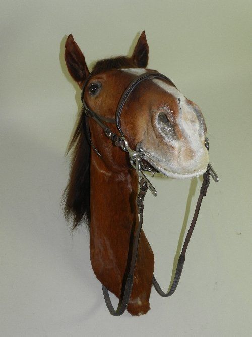 A Taxidermy Study of a Hunter Horse Head with leather