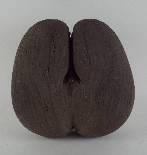 A Coco de Mer (Lodoicea maldivica) nut with unpolished