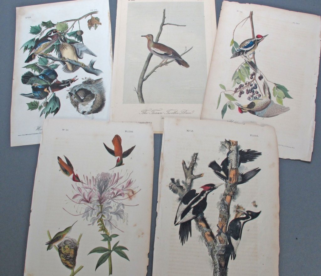 5 Audubon Octavo Prints Birds