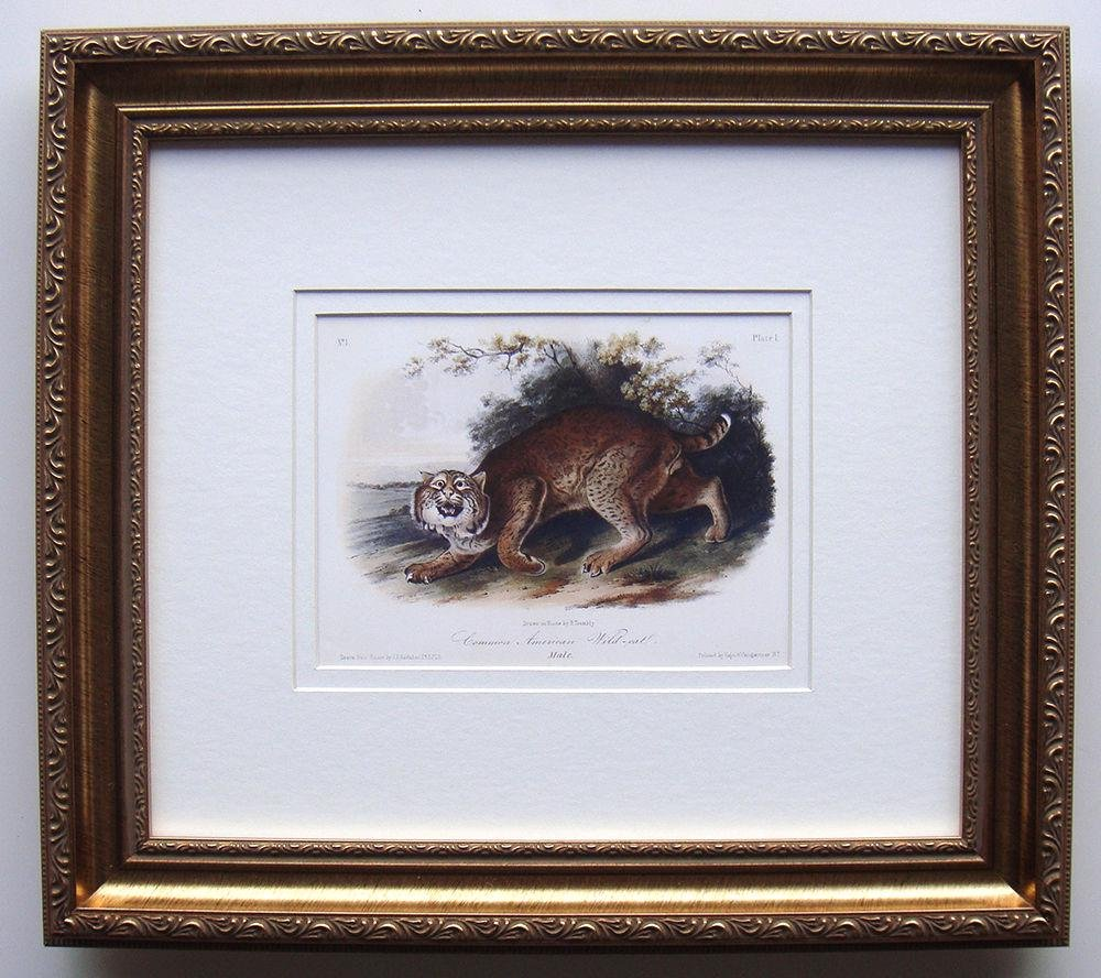 Audubon Common American Wildcat Framed