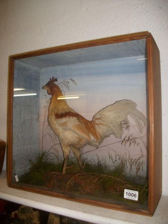 Taxidermy - a cased cockerel