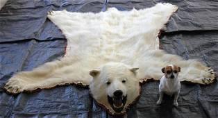 CANADIAN POLAR BEAR SKIN RUG