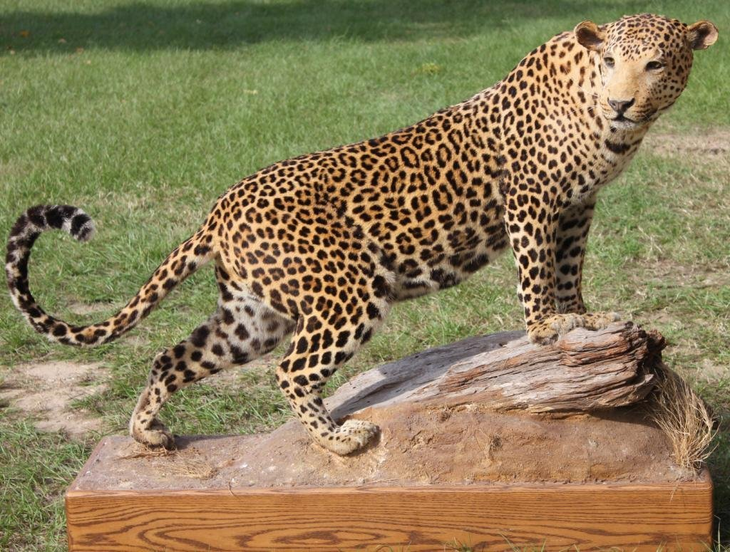 NATURALISTIC MOUNTED LEOPARD,