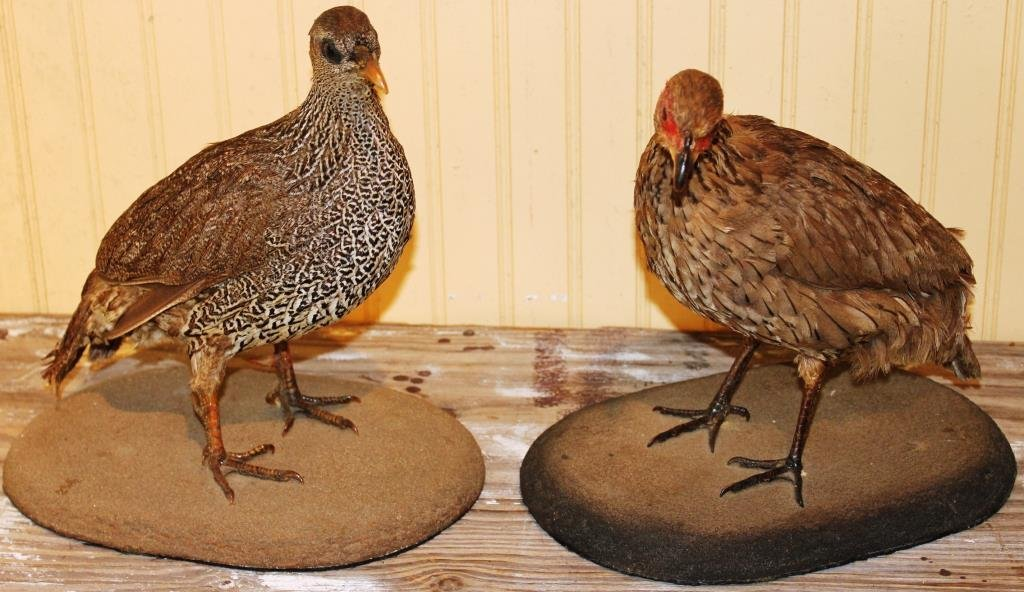 PAIR OF STUFFED & MOUNTED QUAIL,
