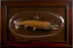 Salmon mounted on board and cased under bubble glass