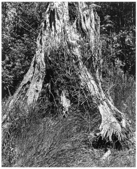 Robert Adams, Old Growth Stump, Cape Disappointment