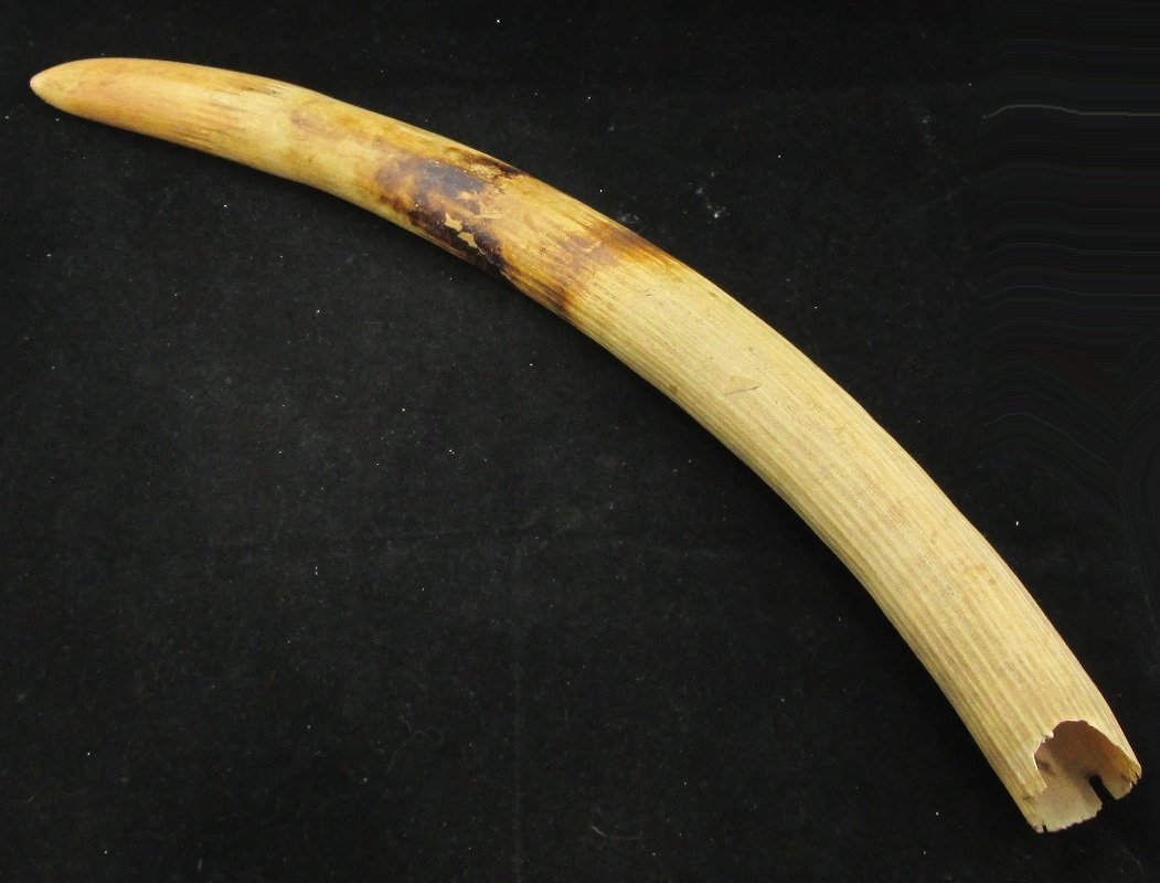 19th Century Uncarved Ivory Tusk