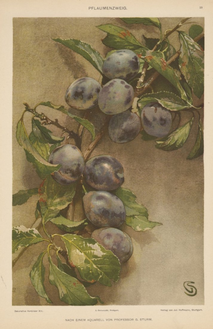 PFLAUMENZWEIG grapes 1895 lithograph