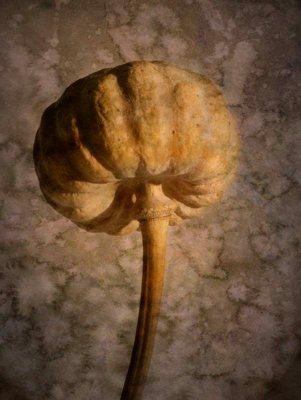 1031: Dried Flower Poppy Photo Botanical Friedman