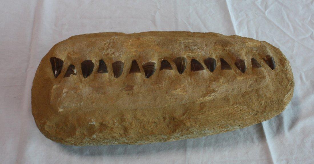Genuine Mosasaur preserved Teeth Fossil